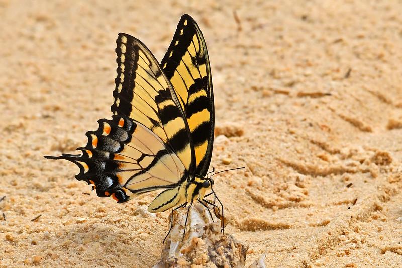 EasternTigerSwallowtail-OcalaNF-FL-7-31-18-SJS-003