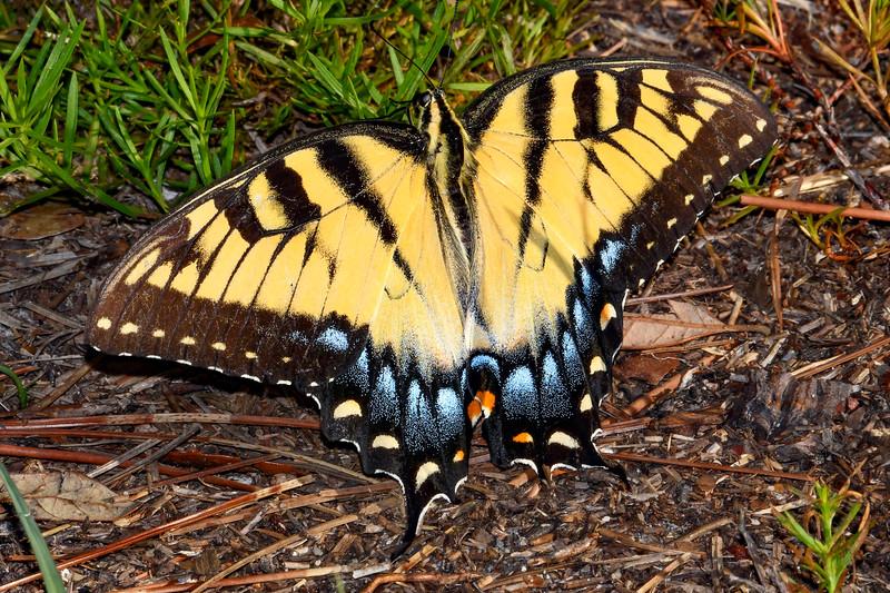 EasternTigerSwallowtail-SawgrassPreserve-5-2-20-SJS-01