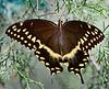 PalamedesSwallowtail-OlenoSP-8-22-20-sjs-003