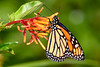 Monarch-MeadGardens-4-22-20-SJS-002