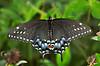 BlackSwallowtail-1