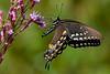 SpicebushSwallowtail-OcalaNF-9-4-20-sjs-005