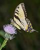 TigerSwallowtail-ColtsCreekSP-FL-6-2-20-SJS-01