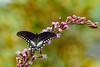 SpicebushSwallowtail-OcalaNF-9-4-20-sjs-011