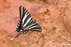 ZebraSwallowtail-OcalaNF-3-20-20-SJS-001