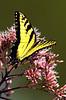 TigerSwallowtail-002