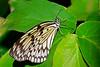 TreeNymph-UF-ButterflyRainforest-2016-SJS-001