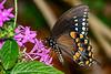 SpicebushSwallowtail-MeadGardens-4-21-20-SJS-001