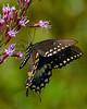 SpicebushSwallowtail-OcalaNF-9-4-20-sjs-003