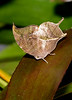 Leafwing-UF-ButterflyRainforest-2016-SJS-002