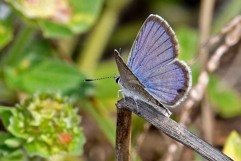 Ceranus Blue-PearParkFL-10-18-18-SJS-007