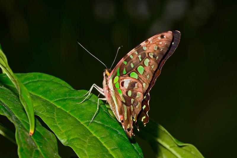 Tailed-Jay-UF-ButterflyRainforest-2016-SJS-002