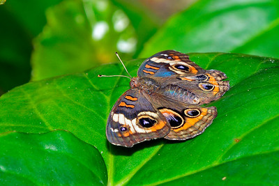 CommonBuckeye-UF-ButterflyRainforest-2016-SJS-001