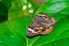 CommonBuckeye-UF-ButterflyRainforest-2016-SJS-001