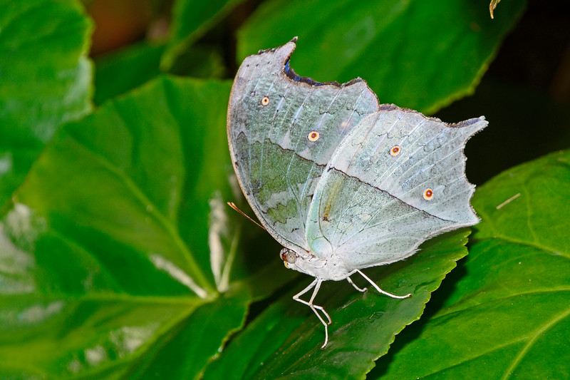 ForestMother-of-Pear-UF-ButterflyRainforest-2016-SJS-003
