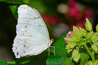 White Morpho-UF-ButterflyRainforest-2016-SJS-001