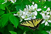 YellowSwallowtail-5-2016-sjs-001