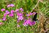EasternBlackSwallowtail-LakeMayFL-3-2-19-SJS-001