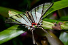 Swallowtail-3-11-20-FlMuseumOfNaturalHistory-SJS-002