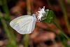BarredSulphurButterfly-SawgrassPreserveFL-10-21-18-SJS-004