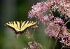 YellowSwallowtail-001