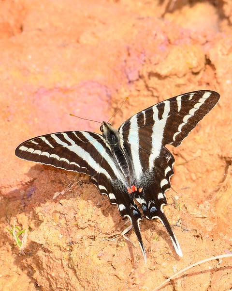 ZebraSwallowtail-OcalaNF-3-20-20-SJS-004
