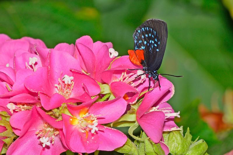 Atala-UF-ButterflyRainforest-2016-SJS-002