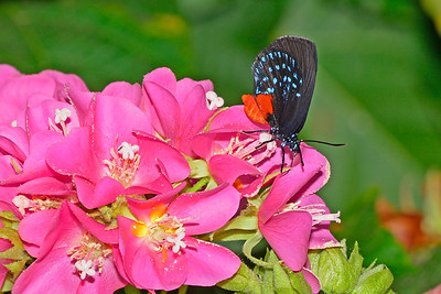 Atala-UF-ButterflyRainforest-2016-SJS-002