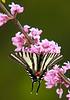ZebraSwallowtail-03