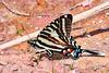 ZebraSwallowtail-OcalaNF-3-18-20-SJS-001