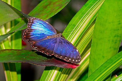 BlueMorpho-UF-ButterflyRainforest-2016-SJS-001