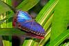 BlueMorpho-UF-ButterflyRainforest-2016-SJS-001