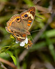 CommonBuckeye-PearPark-5-20-20-SJS-02