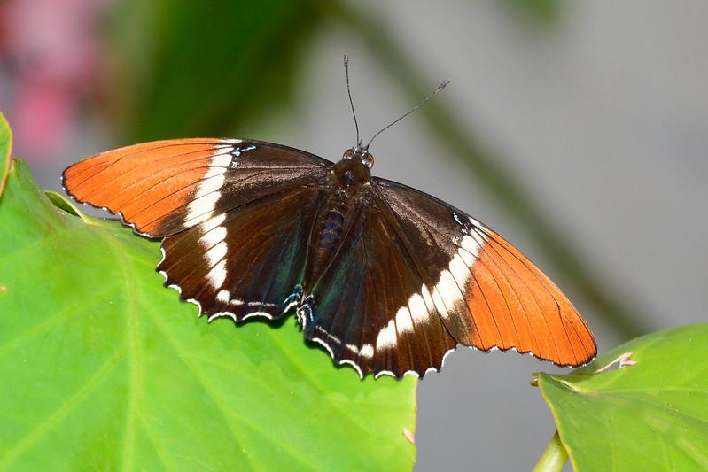 Rusty-TippedPage-UF-ButterflyRainforest-2016-SJS-001