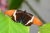 Rusty-TippedPage-UF-ButterflyRainforest-2016-SJS-001