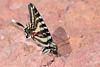 ZebraSwallowtail-OcalaNF-3-18-20-SJS-002