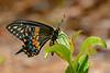 PipevineSwallowtail-SarasotoNationalCemetery-7-8-20-SJS-01
