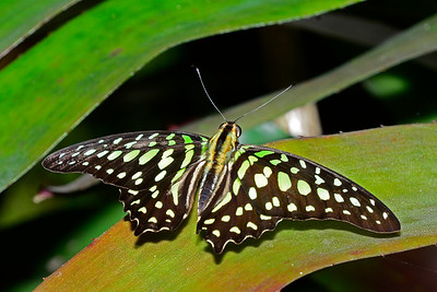 Tailed-Jay-UF-ButterflyRainforest-2016-SJS-001