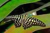 Tailed-Jay-UF-ButterflyRainforest-2016-SJS-001