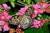 TreeNymph-UF-ButterflyRainforest-2016-SJS-002