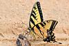 EasternTigerSwallowtail-OcalaNF-FL-7-31-18-SJS-001