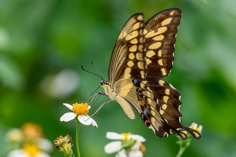 GiantSwallowtail-FloridaCavernsSP-8-21-20-sjs-003