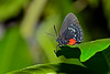 Atala-UF-ButterflyRainforest-2016-SJS-003
