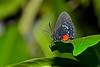 Atala-UF-ButterflyRainforest-2016-SJS-003