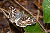 TropicalCheckeredSkipper-FloridaCavernsSP-8-21-20-sjs-003