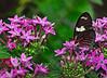 KeyWestButterfly&NatureConservatory -sjs-2015-009