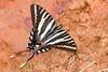 ZebraSwallowtail-OcalaNF-3-20-20-SJS-002