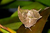 Leafwing-UF-ButterflyRainforest-2016-SJS-001