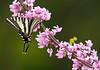 ZebraSwallowtail-02