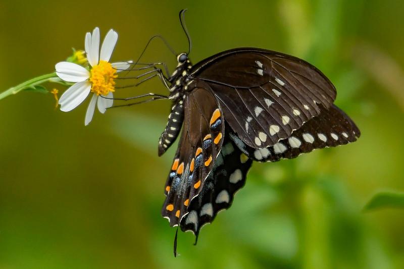 EasternBlackSwallowtail-PineMeadowsCA-9-13-19-SJS-003